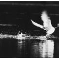 #8/52 - Vyrušený kačer