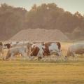 #47/52 - večer s krávama